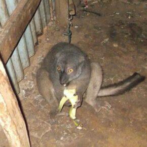 "A captive ""pet"" lemur in Madagascar."