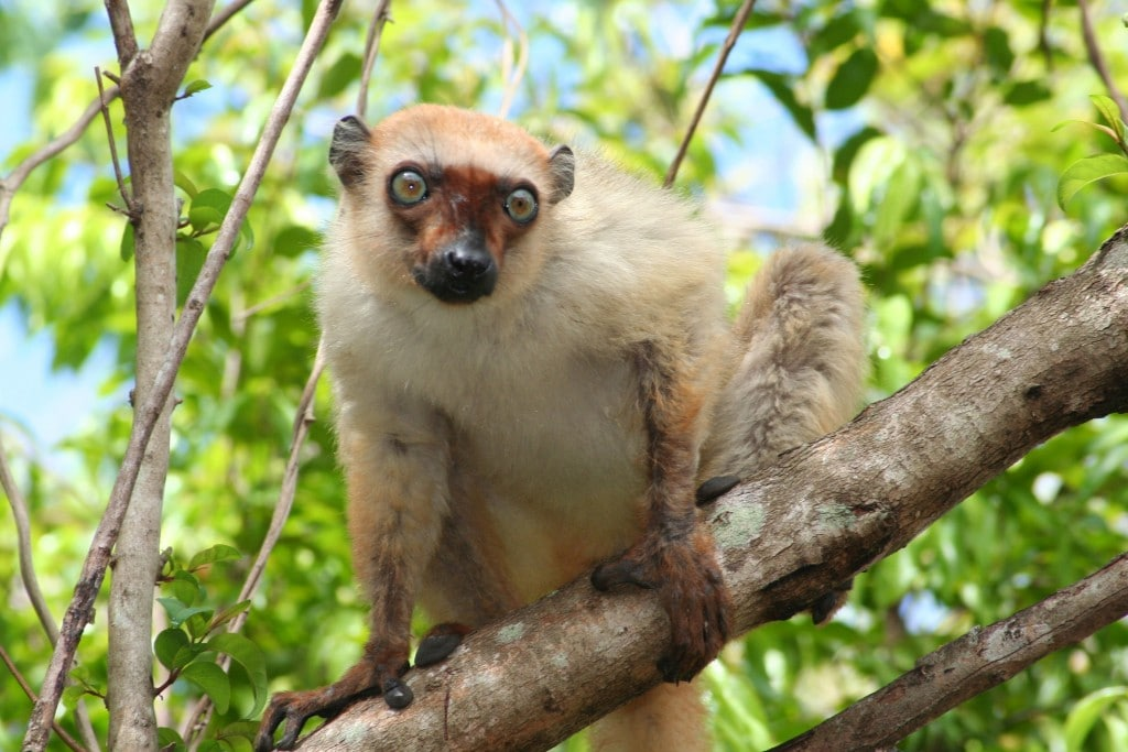 Female blue-eyed black lemur.