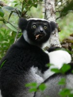 Indri  (c) Tony King Aspinall Foundation