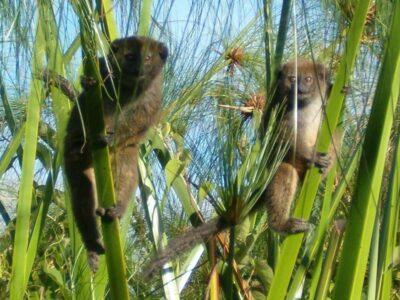 Lac Alaotra Gentle Lemurs. Photo: Durrell Madagascar.