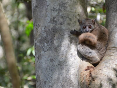 A sportive lemur in Ankarafantsika National Park. Photo by Lynne Venart