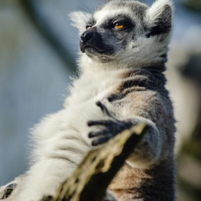 Ring-tailed lemur. Photo by Mathias Appel.