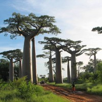 Avenue of the Baobobs. One of the most unique and picturesque landscapes in all of Madagascar.