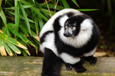 Female black and white ruffed lemur