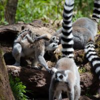 The ring-tailed lemurs were up to their famous silly antics, hopping around in groups, many with babies clinging to their fur.