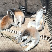 The lemurs at the Dade City Wildlife Ranch.