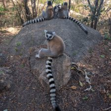 Guidelines for Reducing the Risk of Lemur Exposure to COVID-19 at Ecotourism and Research Sites in Madagascar
