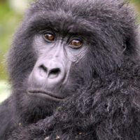Mountain gorilla. Photo by Russell A. Mittermeier