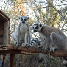 LCN Member of the Month: ONG Reniala-The Lemur Rescue Center