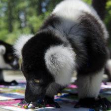 LCN Member of the Month: Duke Lemur Center