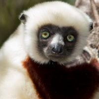 Lemur 2 Propithecus coquereli