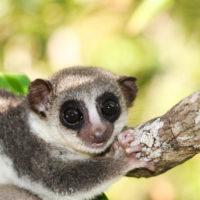 Cheirogaleus thomasi (Thomas' dwarf lemur)
