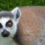 My week with lemurs