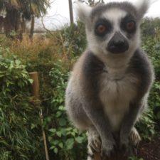Tales of a Lemur's Apprentice