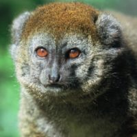 Alaotran Gentle Lemur: Hapalemur griseus alaotrensis