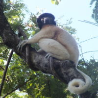 Crowned sifaka MAB