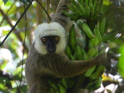 White-fronted brown lemur enjoying a snack in Marojejy