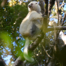 Hiking to See Silky Sifakas in Marojejy National Park