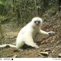 Silky sifaka photo captured by a camera trap courtesy of Lemur Conservation Foundation and Patrick Ross.