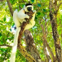 Sifaka (Propithecus verreauxi) in Nahampoana Reserve, species of lemurs that are listed as critically endangered by the International Union for Conservation of Nature (IUCN). Photo credit: Domoina R.