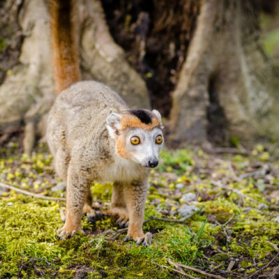 Crowned Lemur. Photo: Mathias Appel.