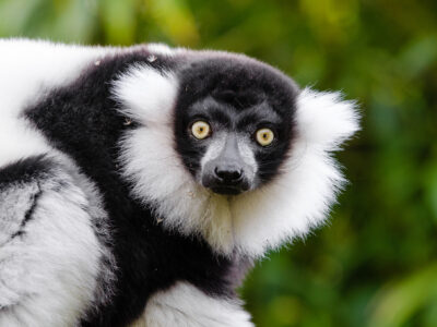 Black and white ruffed lemurs are pollinators. Photo: Mathias Appel.