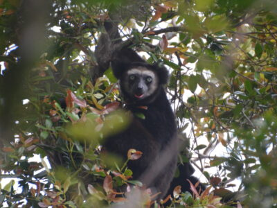 Indris in Anjanaharibe Sud Special Reserve By Lynne Venart