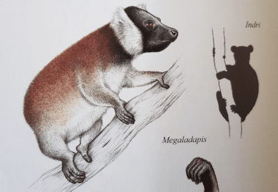 Image showing illustration of Megaladapis edwardsi from Lemurs of Madagascar book.