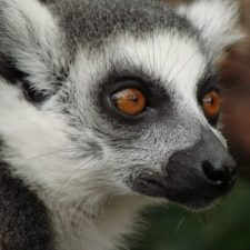 Top 10 Facts About Lemurs