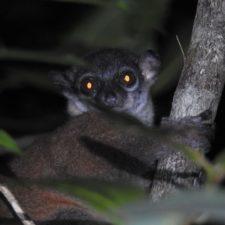 Saving the lemurs of Tsitongambarika: Madagascar's southernmost rainforest
