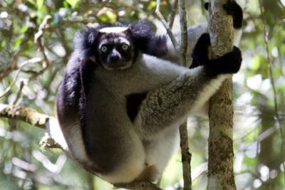 An indri sitting in a tree in Madagascar.