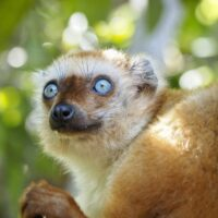 Blue-eyed black lemur at the Bristol Zoo. Photo from Bristol Zoo website.