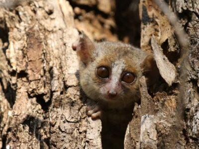 Grey-mouse-lemur-Cat-Rayner-7aae99a