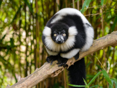 Black and white ruffed lemur. Photo by Mathias Appel.