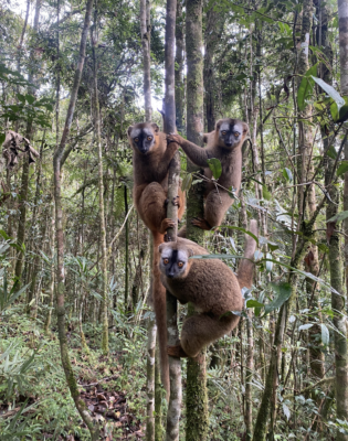 Group of Red-fronted brown lemurs in Ranomafana