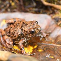 Image of Rhombophryne vaventy - the first frog species Mark described