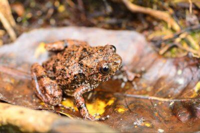 Image of Rhombophryne vaventy - the first frog species Mark described