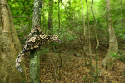 Image of a Giant Leaf-tailed Gecko