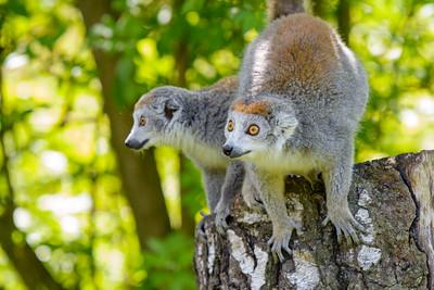 Pair of Crowned Lemurs on tree stump