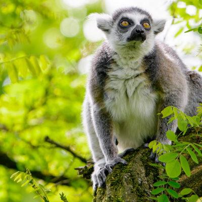 Ringtailed Lemur on tree branch