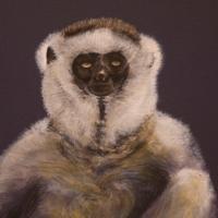 Verreaux's sifaka watercolour