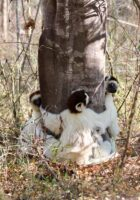 Chloe took this photo of sifakas hugging a tree in Bezà Mahafaly Special Reserve, Madagascar in 2017. Photo: Dr. Chloe Chen-Kraus
